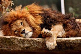 lion couché