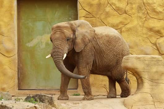elephant dans zoo