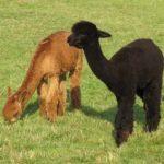 jeunes lamas