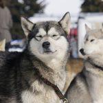 aillon-chiens-traineau