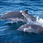martinique-dauphins