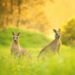 puy-du-fou-pommeraye-kangourou
