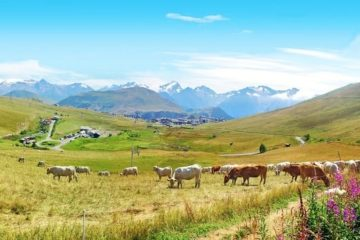 troupeau de vaches dans les alpages